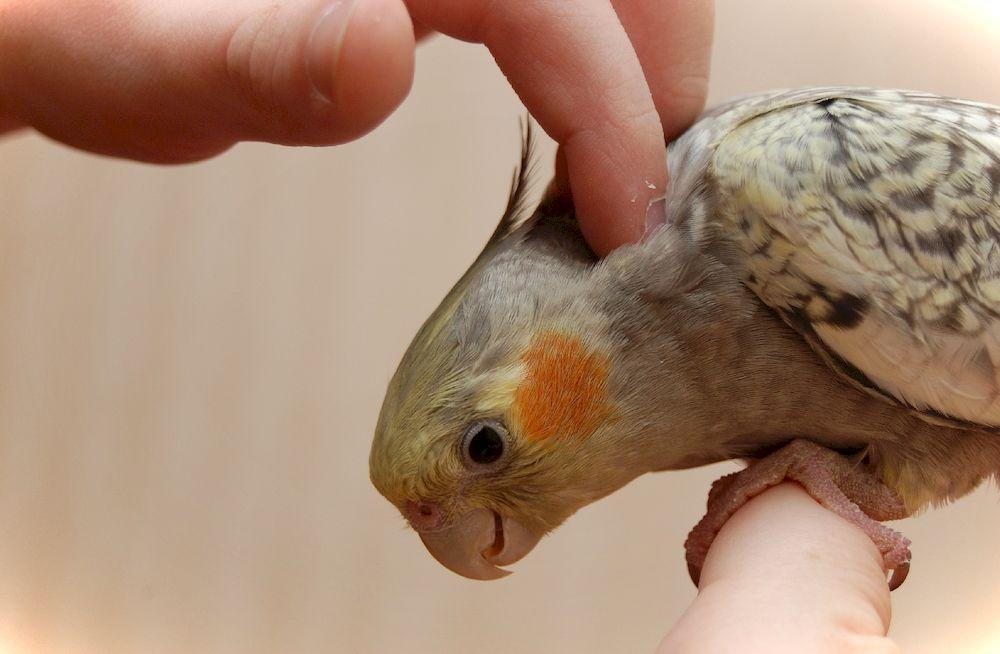 В каком возрасте покупать корелла попугай